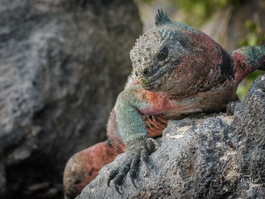 Meerechse auf den Galapagosinseln