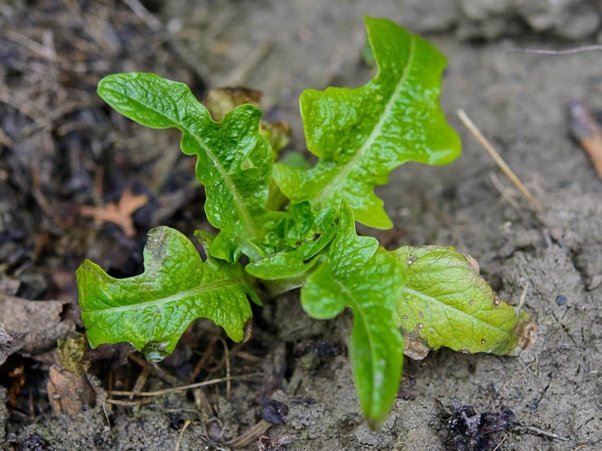 Salatpflänzchen im Februar