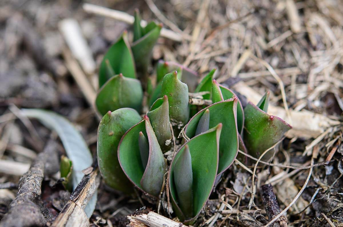 Tulpen schicken im Februar schon ihre Blätter voraus.