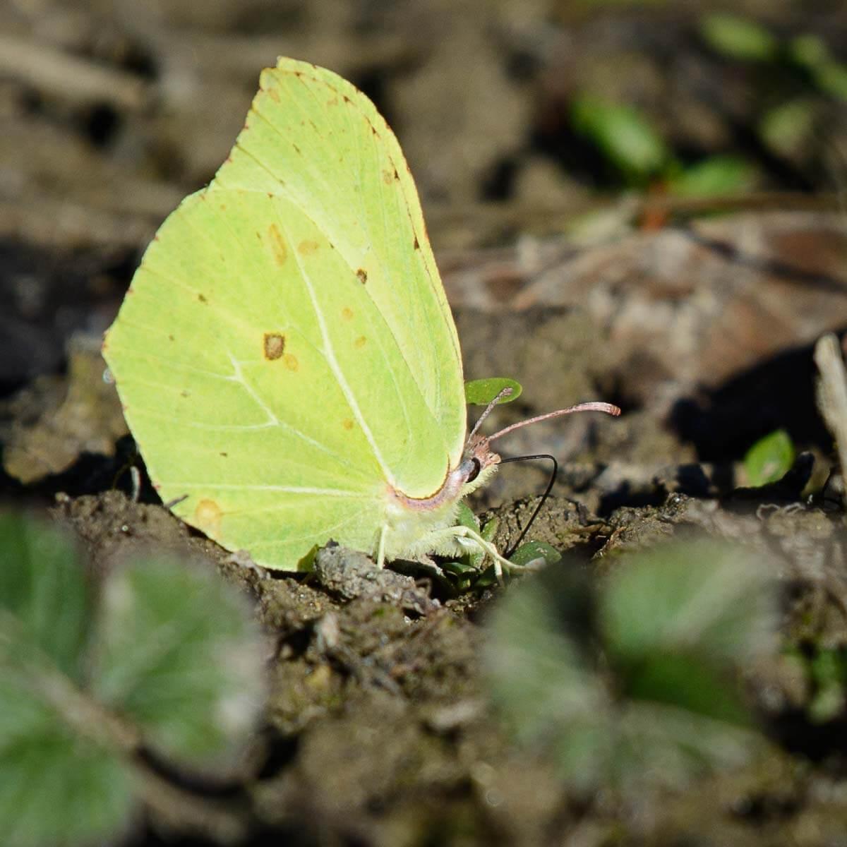 Zitronenfalter - einer der ersten Schmetterlinge im Naturgarten