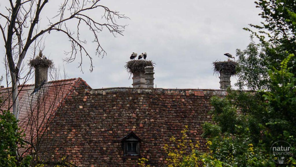 Störche am Dach von Schloss Machegg