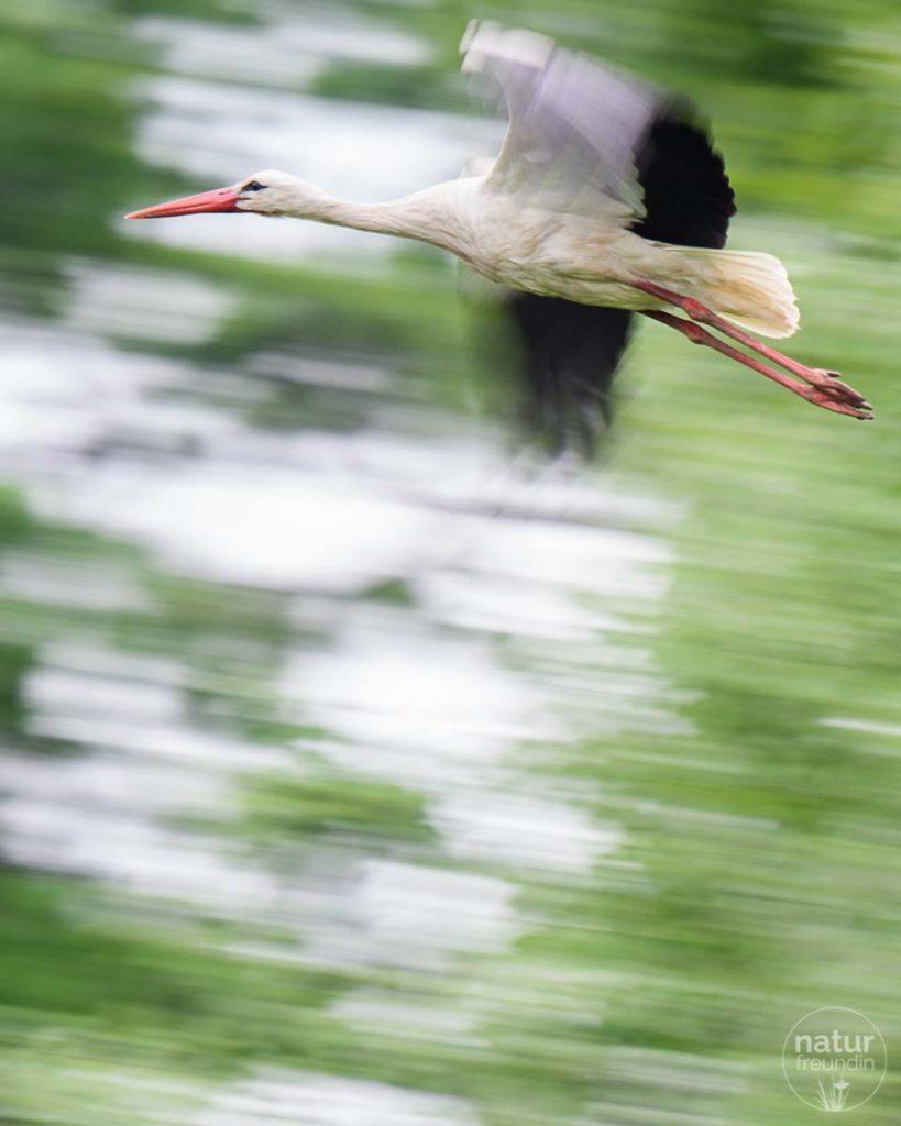 Marchegger Storch im Flug
