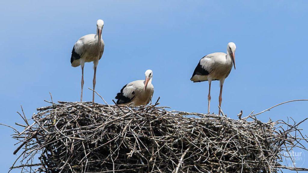 Storchenfamilie im Nest, Marchegg