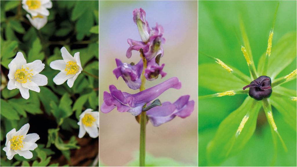 Ein entzückendes Trio - Frühlingsboten, Teil 3: Buschwindröschen, Lerchensporn und Einbeere