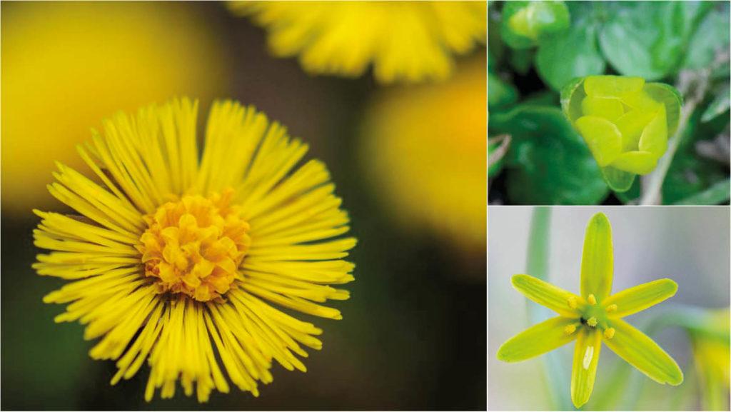 Leuchtendes Gelb - wilde Frühlingsblumen Teil 4: Huflattich, Scharbockskraut, Gelbstern