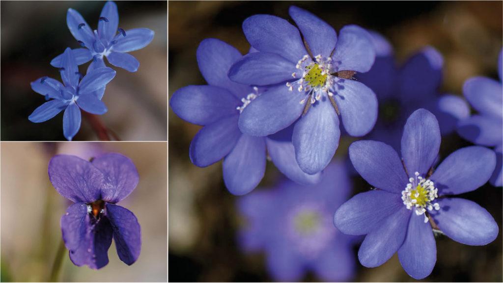 Blaue Frühblüher - Teil 5 der Frühlingsblumen-Portraits: Blaustern, Veilchen & Leberblümchen