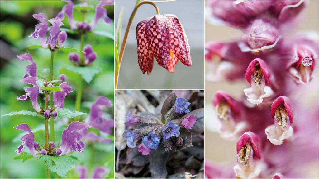 Pretty in Pink - wilde Frühlingsblumen, Teil 6 Lungenkraut, Schachblume, Schuppenwurz, Taubnessel: erfahre mehr über die Frühlingsblüher auf Wald und Wiese in Österreich