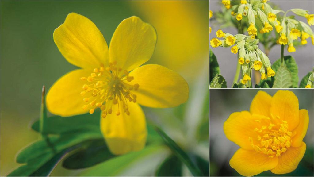 Gelbe Wildblumen im April - Teil 7 der Wildblumen Portraits Schlüsselblume, Sumpf-Dotterblume und Gelbes Windröschen bringen ab April Farbe in Österreichs Natur. Erfahren sie mehr über die Frühlingsblumen.