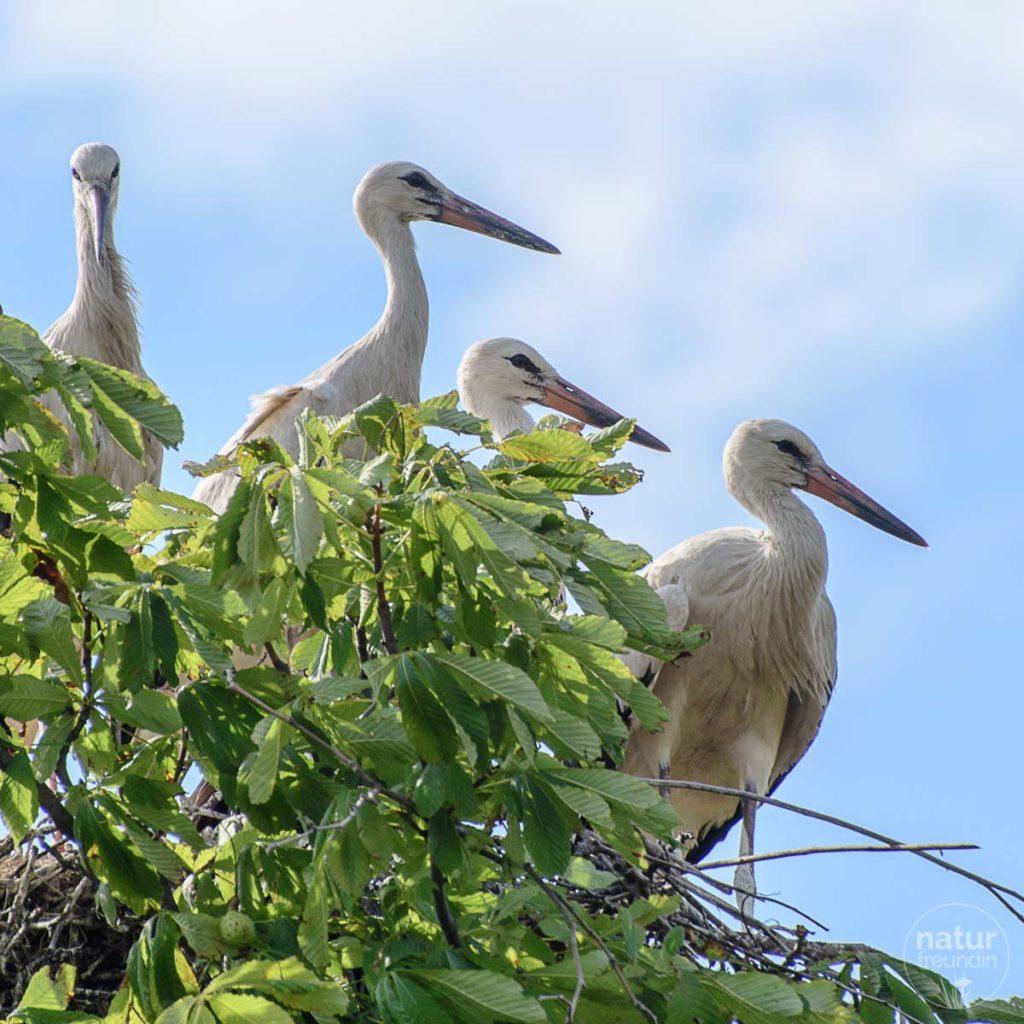 Storchenfamilie in Marchegg