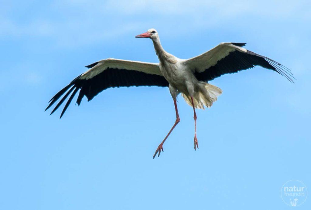 Storch im Landeanflug, Auenreservat Marchegg