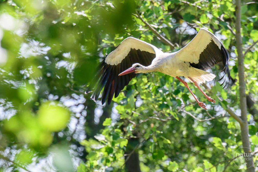 Marchegger Storch im Auenreservat