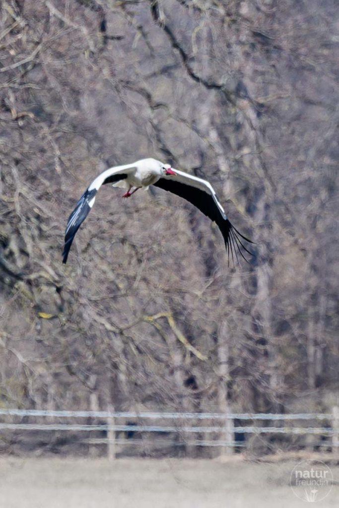 Fliegender Storch in Marchegg