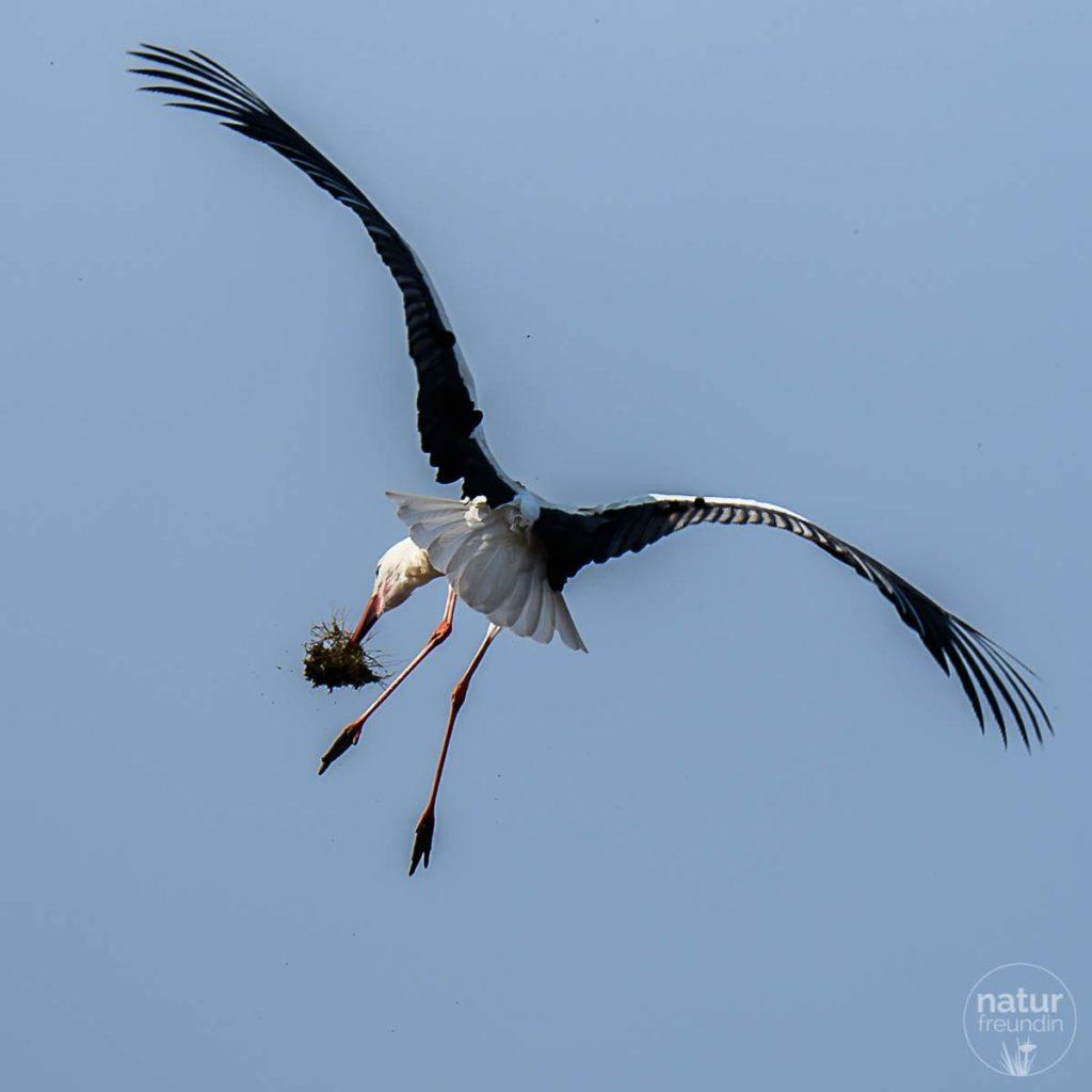Storch in Marchegg mit Nestmaterial