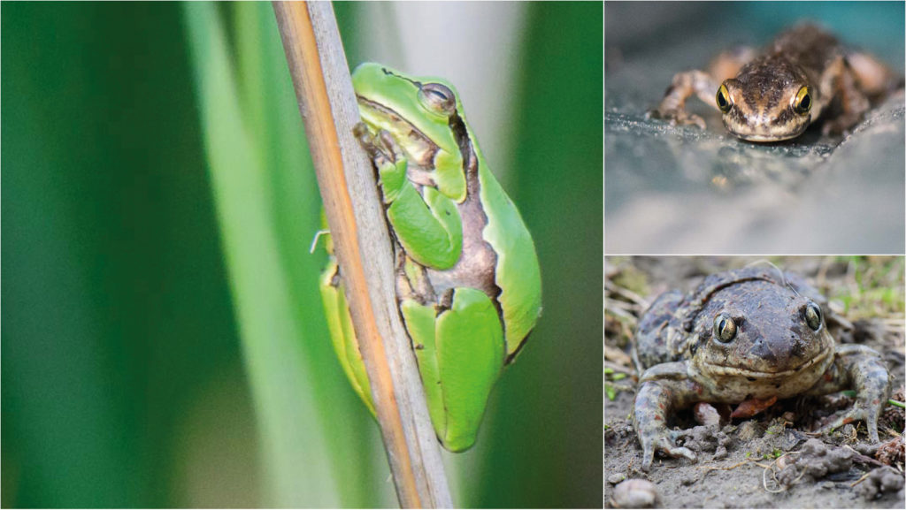 Amphibien in Österreich