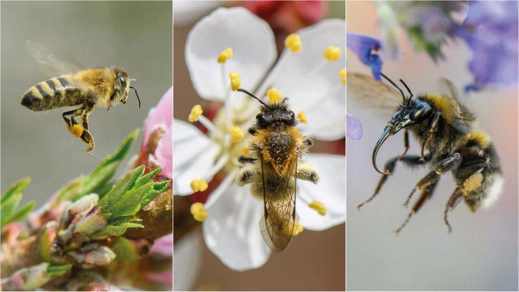 Honigbienen und Wildbienen im Portrait