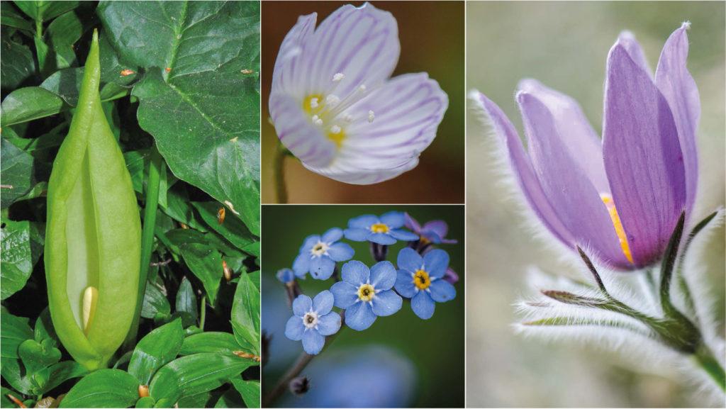 """Wildblumen ab April - """"28 Frühlingsboten in Wort und Bild"""", Teil 8 Aronstab, Vergissmeinnicht, Kuhschelle und Waldsauerklee beenden unsere Serie der wilden Frühlingsblumen in Österreich"""