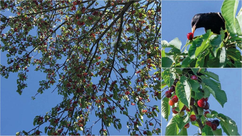 Kirschen und anderes Obst am Straßenrand