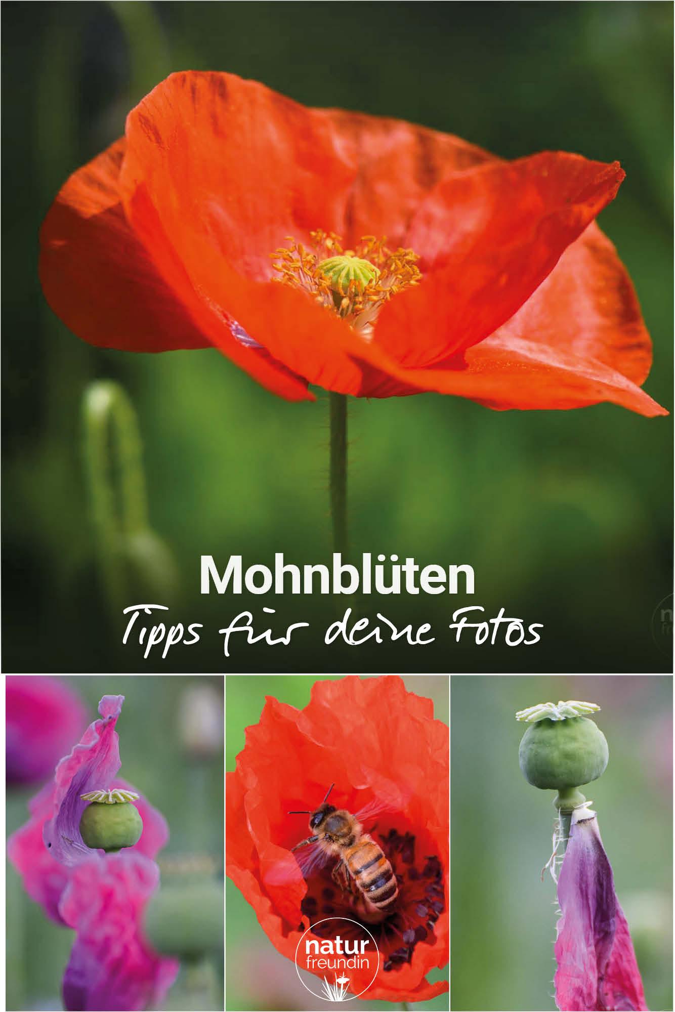 Mohnblüte im Waldviertel - Fototipps
